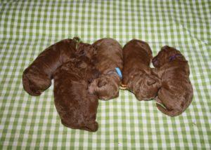 J- Puppies 1 Woche alt